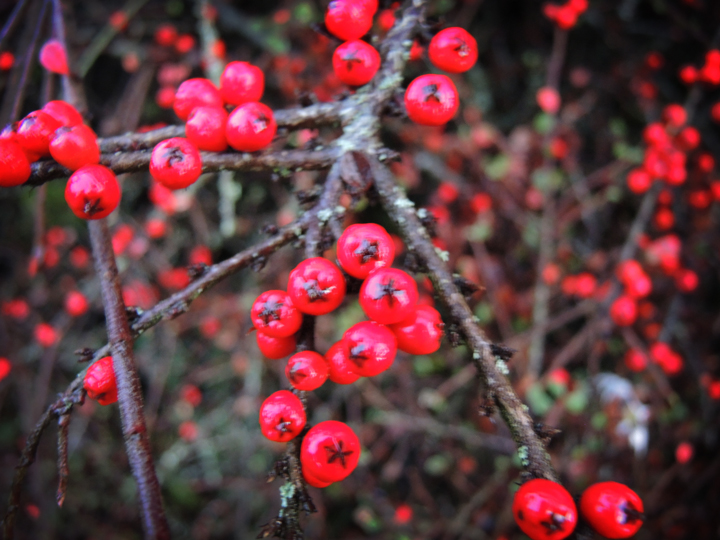 Photo of cotoneaster berries