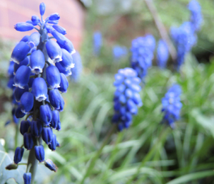 photo of grape hyacinth