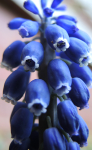 photo grape hyacinth