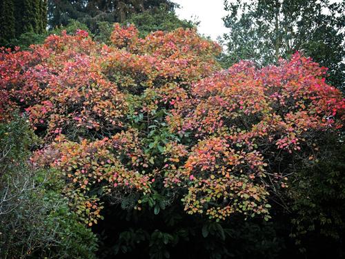 Photo of smoke tree autumnal leaves